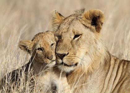 Der er masser af løver i Tanzania