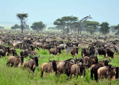 Gnuernes store migration i Serengeti