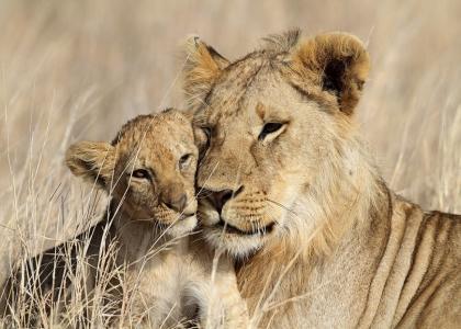 På safari i Tanzania kommer man meget tæt på de vilde dyr