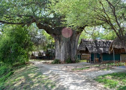 Luksusteltene ligger flot placeret mellem kæmpe baobautræer